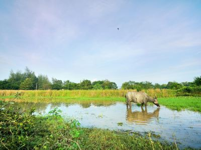 Buffalo Park Langkawi