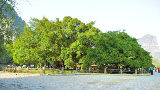 Large banyan