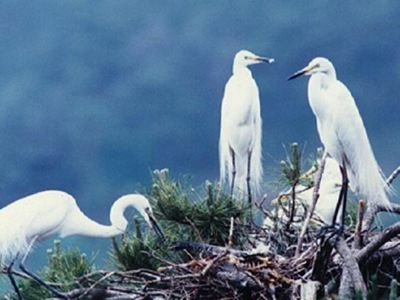 Habitat of White Herons and Common Herons