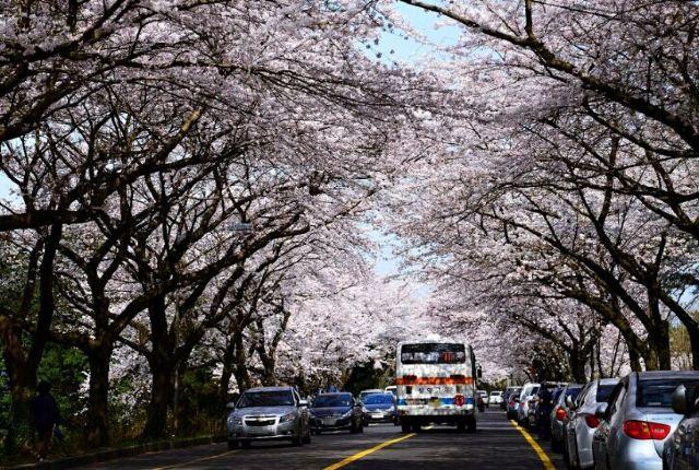 去濟州島賞花