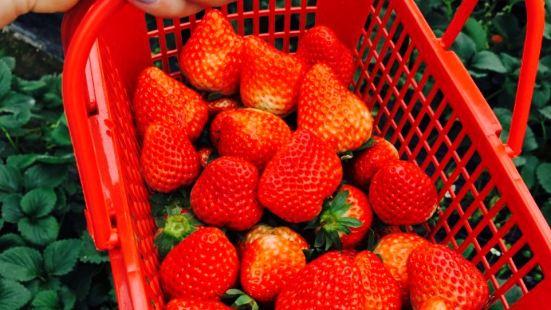 湯山小朱草莓基地