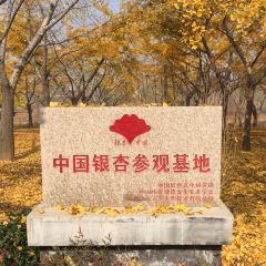 中華銀杏花朝園用戶圖片