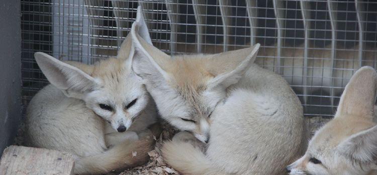 耳廓狐展區1