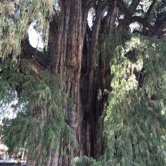 Árbol del Tule User Photo