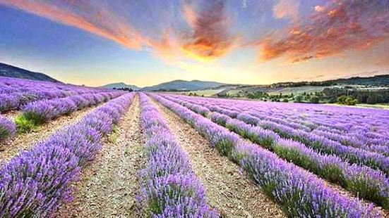 Vanilla Bay Lavender Theme Park