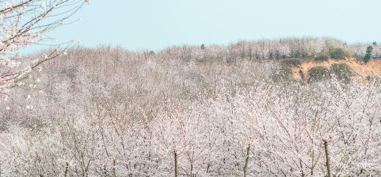 平壩農場櫻花園3