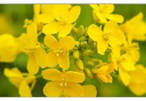 去啥子羅平!四川這個小鎮就藏著最早的春天,花開已成海!