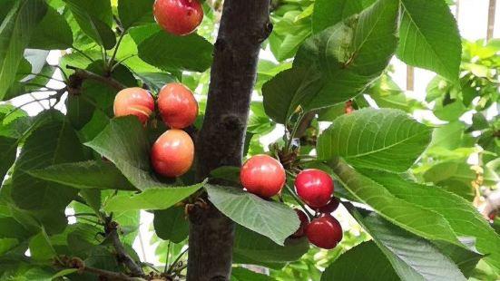 老李櫻桃採摘園