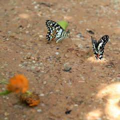 Banteay Srey Butterfly Centre User Photo