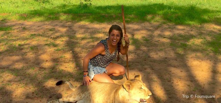Lion Encounter Zimbabwe3