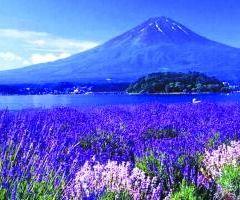 Alii Kula Lavender User Photo