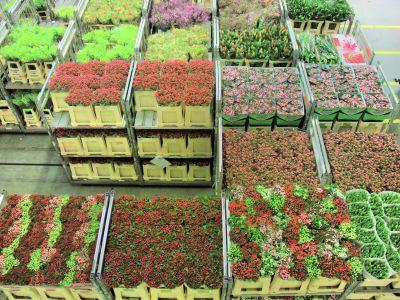 愛士曼鮮花拍賣市場