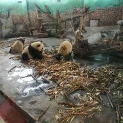 청두 판다 번식연구기지 여행 사진