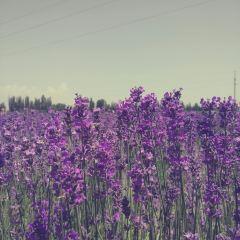 霍城薰衣草用戶圖片