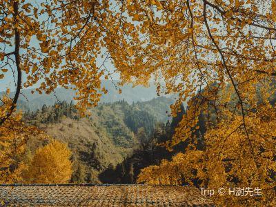 中國千年銀杏谷