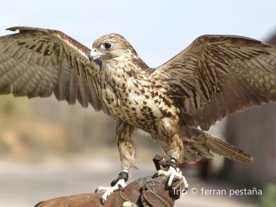 Falconry of Kenya