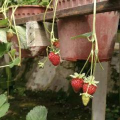 Raju Hill Strawberry Farm用戶圖片
