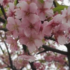Cherry Blossom Valley User Photo