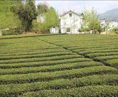 西鄉茶園用戶圖片