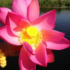 Lotus Grand View Garden User Photo
