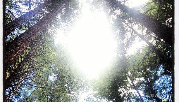 Redwoods, Whakarewarewa Forest2
