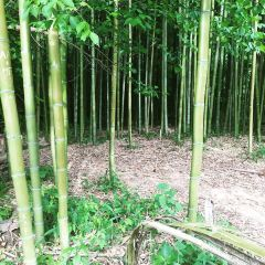 Bamboo Forest User Photo
