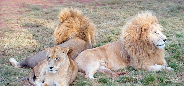 Lion & Safari Park3
