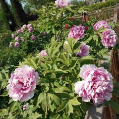 Han Peony Garden Scenic Region User Photo