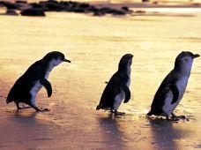澳大利亚墨尔本+菲利普岛2日1晚私家团(4钻)·神仙企鹅归巢+考拉保育员科普+丘吉尔岛农场+童年蒸汽小火车+丹顿农山(4人独立成团)
