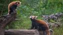 【寒假亲子·志愿者体验】普洱+西双版纳 6天5晚·小熊猫庄园+基诺山寨+亚洲象+望天树+茶饼制作+全程车导
