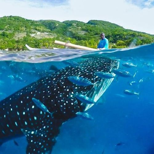 Whale shark Encounter in Oslob - Shared Tour