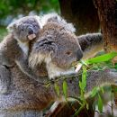 Koalas, Kangaroos & Mt Coot-tha Scenic Views Private Tour with Local Guide