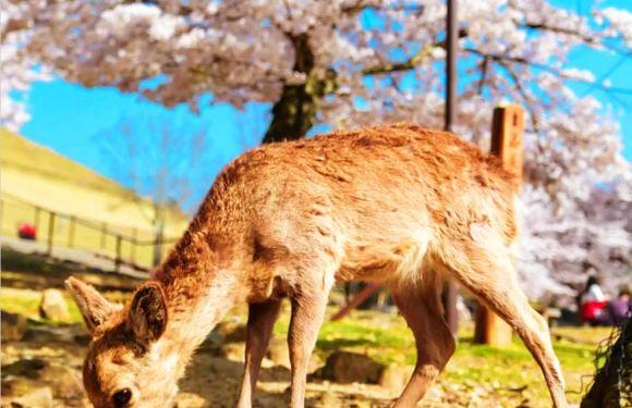 日本京都+奈良公園一日遊 (精選路線:清水寺/袛園/錦市場/伏見稻荷大社)
