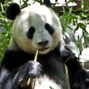 【與熊貓近距離互動】四川熊貓飼養員一日體驗(成都出發)