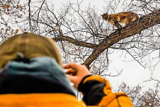 Mountain Lion Photo Safari