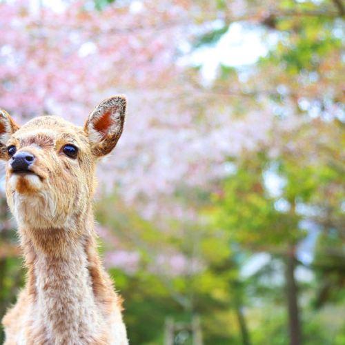 쿠루쿠루 오사카 교토 2호선 나라 동대사 & 사슴공원 & 은각사 & 후시미이나리 신사 (라이트)
