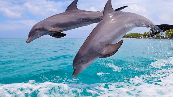 Hawaii Wild Dolphin Watching Cruise Day Tour (Oahu Snorkeling/ BBQ Lunch, Limited Offer)