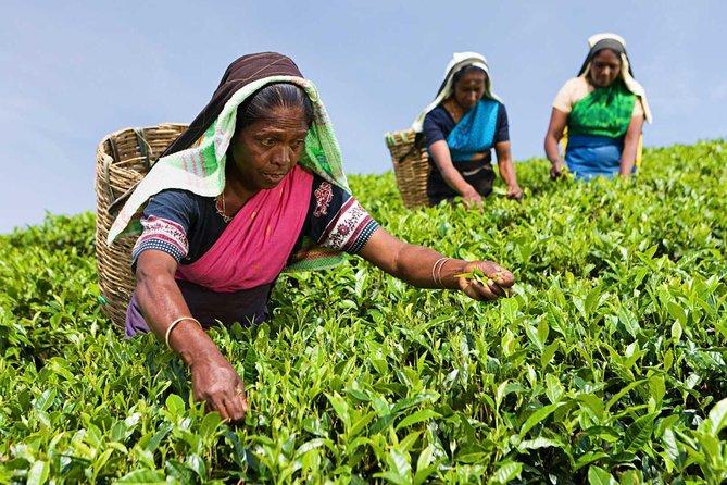 Tea Plucking and Tea Factory Visit from Nuwara Eliya ( www.sigiritrip.com)