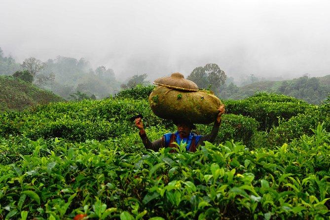Half-Day Tea Harvesting and Making in Yogyakarta