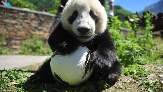 Panda Keeper Volunteer in Dujiangyan Wolong Panda Base