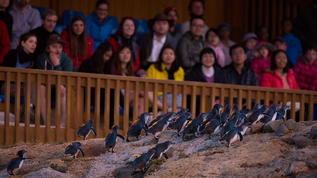Oamaru Blue Penguin Colony Ticket