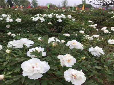 曹州百花園
