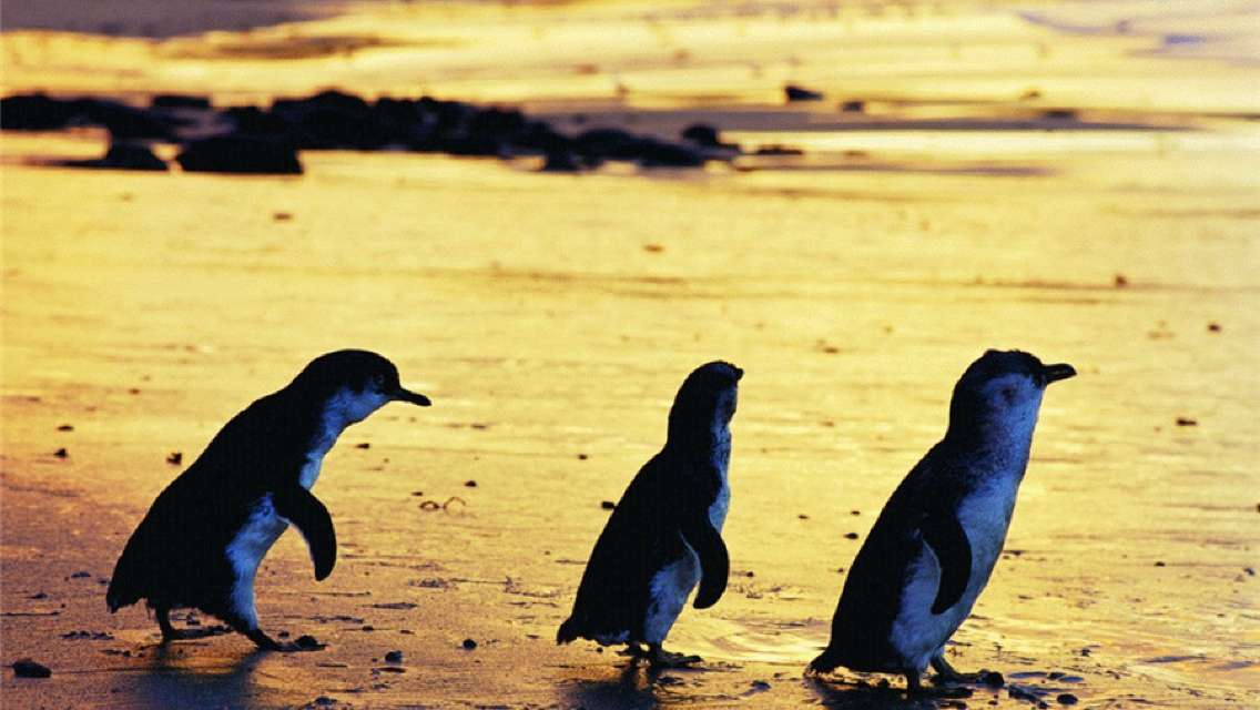 Phillip Island Penguin Parade General Viewing Ticket and Combo Ticket