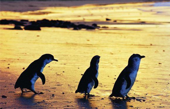 菲利普島自然公園企鵝歸巢門票(可選多景點套票)