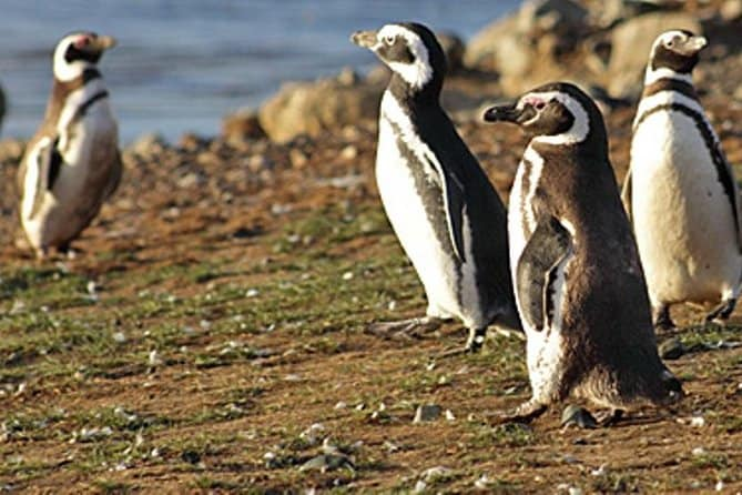 Walk with the Penguins in Martillo Island