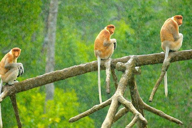 Full-Day Orangutan and Proboscis Monkey Tour from Sandakan or Kota Kinabalu