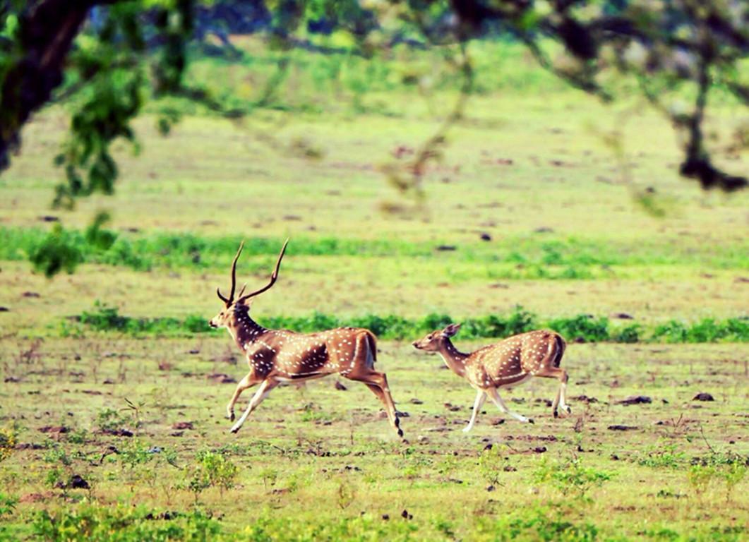 斯里蘭卡雅拉國家公園半日遊(乘吉普車+追尋獵豹+酒店往返接送+含門票)