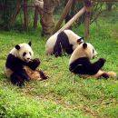 Chengdu Private Tour: Panda Base, Wenshu Monastery and Tea at People's Park