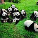 Private Tour: Chengdu Panda Breeding and Research Center Tour