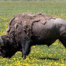 Yellowstone Wildlife Safari Tour (Private)